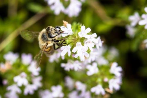 Closeup of Apis mellifera scutellata honey bee pollinating gentle white flowers of Thymus vulgaris plant growing in green garden