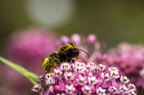 Bombus vestalis bumblebee sitting on gentle Asclepias fascicularis flower