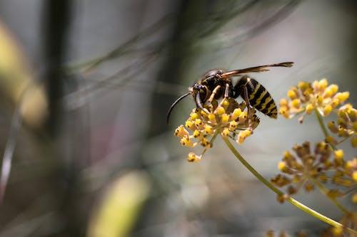 Vespa crabro wasp sitting on blossoming Foeniculum vulgare flower