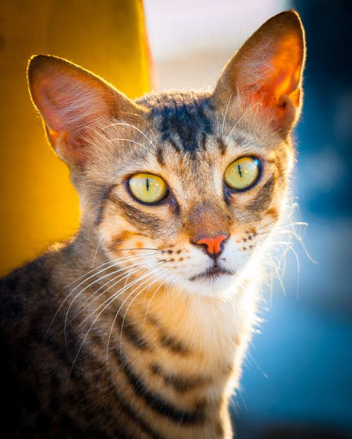 Free stock photo of animal photography, animal portrait, cat, color
