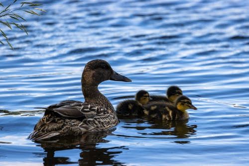 Cute wild duck with ducklings swimming in pond in daylight