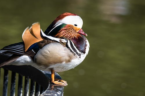 Side view of adorable male mandarin duck with colorful plumage sitting on metal railing above calm pond on sunny day in park