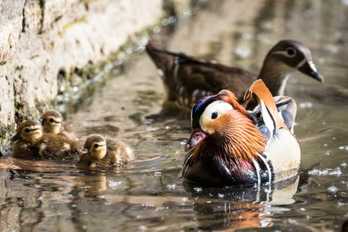 Adorable mallard with ducklings and mandarin duck floating on lake water