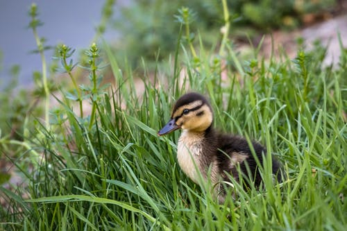 Side view of cute small mallard sitting in fresh green grass near lake in nature