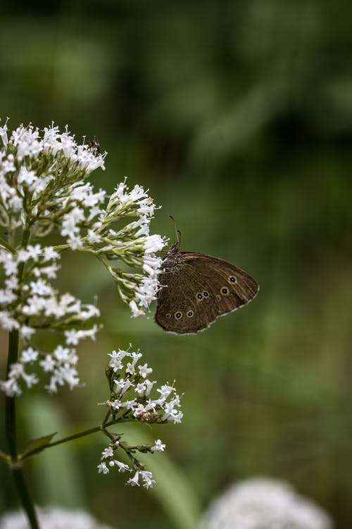 Small wild butterfly with spots pollinating white flowers of lush bush growing in nature with green plants on blurred background