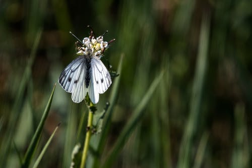 Small white butterfly with black spots pollinating thin flower growing in woodland among green grass on blurred background in nature