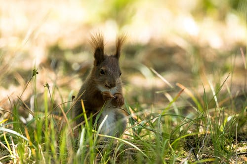 Adorable fluffy Eurasian red squirrel sitting on grassy ground on sunny day in park