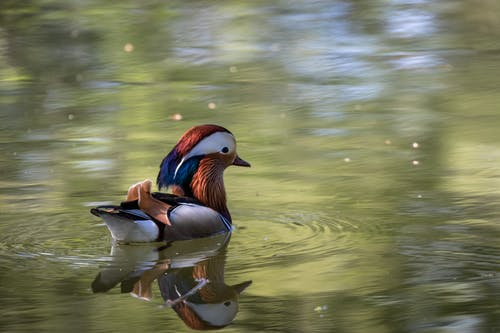 Cute Aix galericulata perching duck floating on lake water