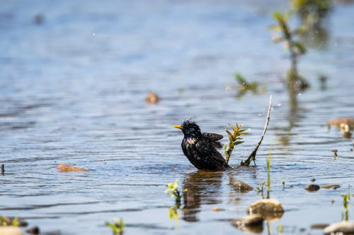 Side view of wet common starling swimming in lake water on sunny day in nature