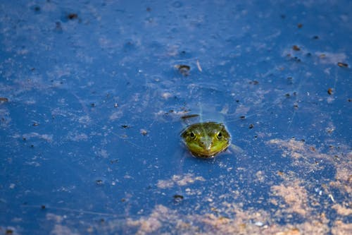 High angle of green toad swimming in blue water of lake on rainy day