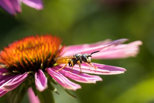 European hornet standing on gentle petal of purple coneflower growing on green meadow on sunny summer day
