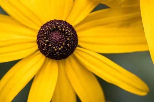 Closeup of fresh delicate black eyed Susan flower with vivid yellow petals growing on meadow
