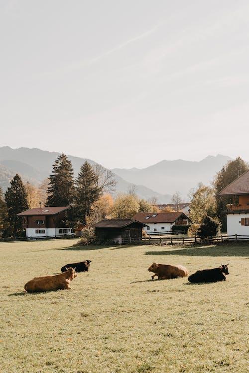 갈색과 흰색 집 근처 녹색 잔디 필드에 갈색과 흰색 말