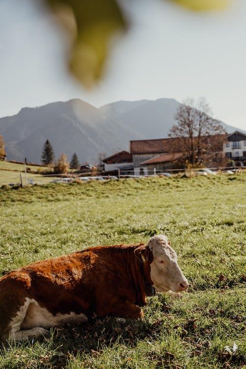 Mucca Marrone E Bianca Sul Campo Di Erba Verde