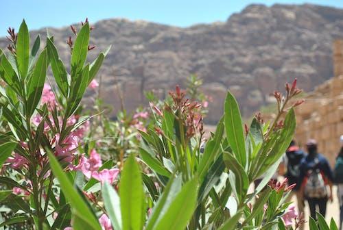 Free stock photo of amman, beautiful flowers, jordan