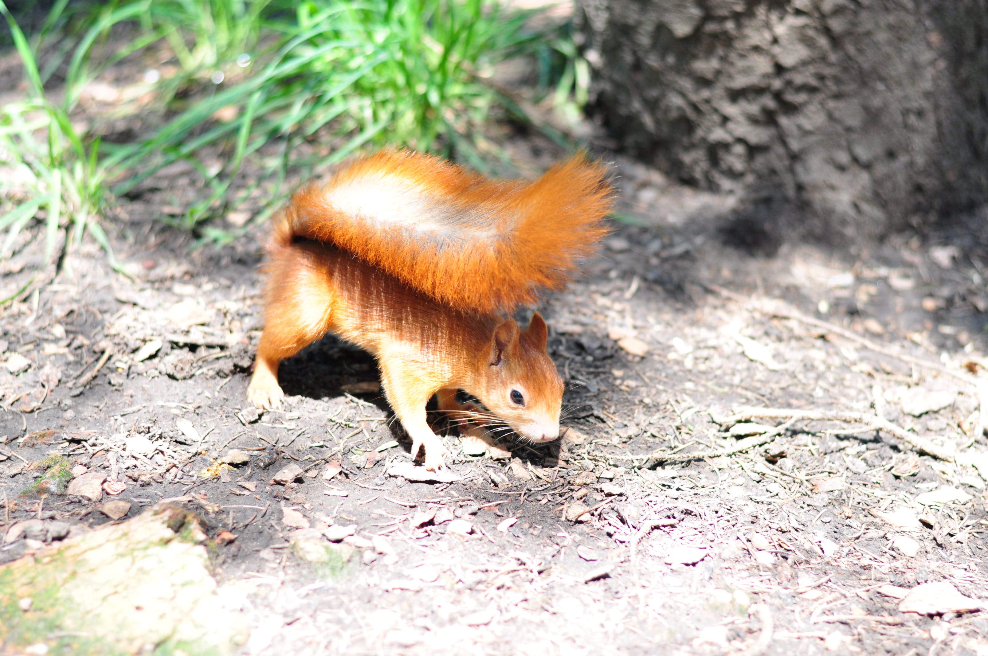Free stock photo of city park, forest, nature, squirrel