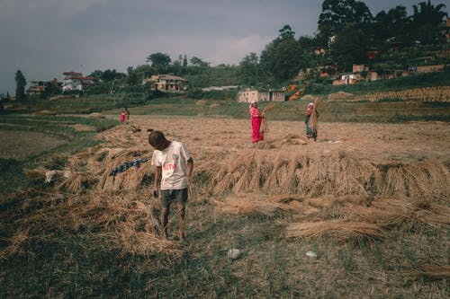 Unrecognizable ethnic farmers picking rice straw in countryside