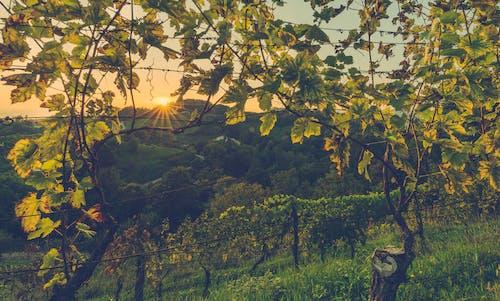 Безкоштовне стокове фото на тему «виноград, гілки, дерева, Захід сонця»