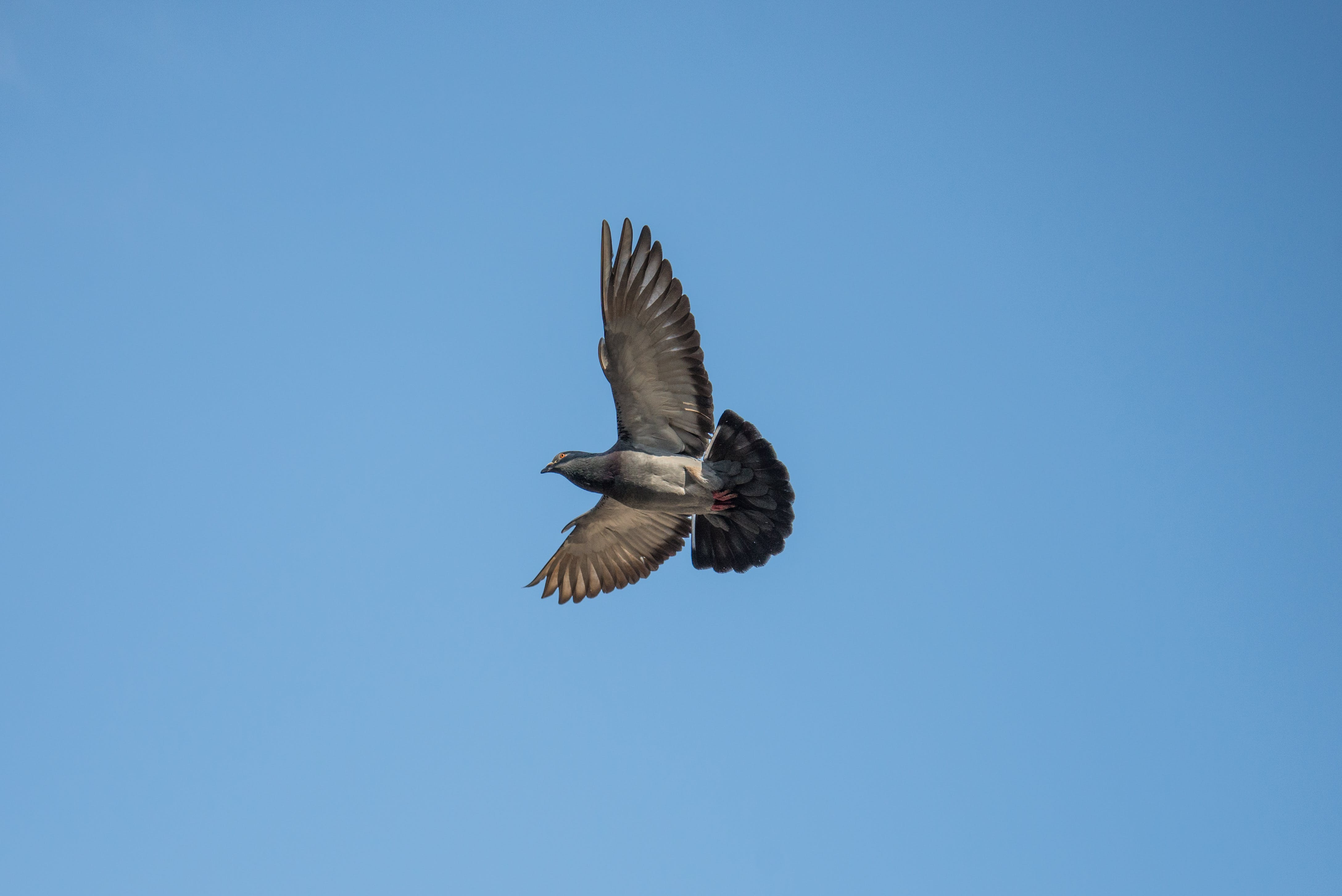 Gray and Black Bird Flying