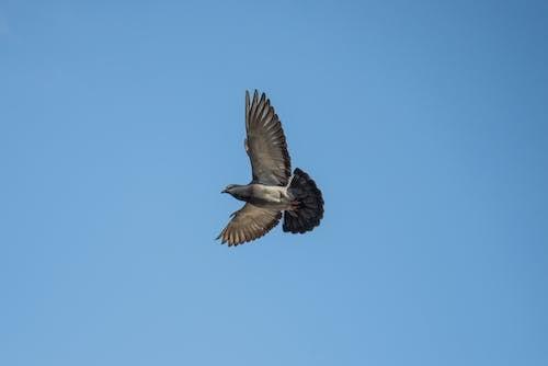 คลังภาพถ่ายฟรี ของ การบิน, ท้องฟ้า, นกพิราบ, สัตว์