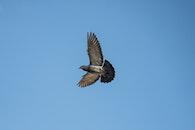 flight, sky, bird