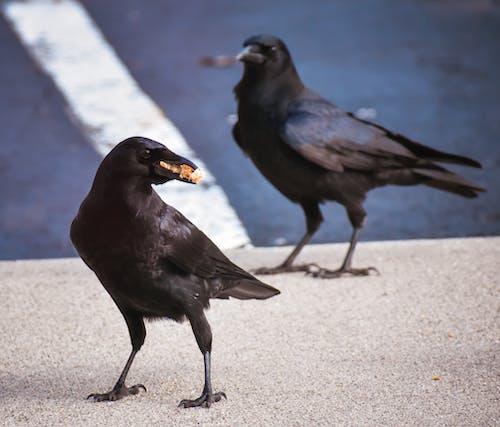 Black crow eating food on street