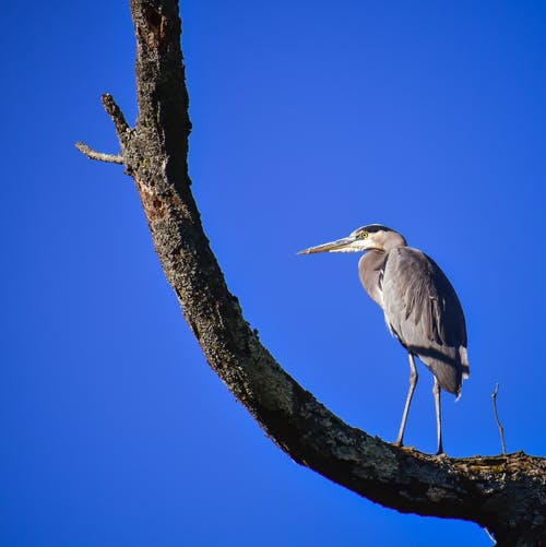 Low angle of carnivorous fowl heron standing on bare tree branch against blue sky