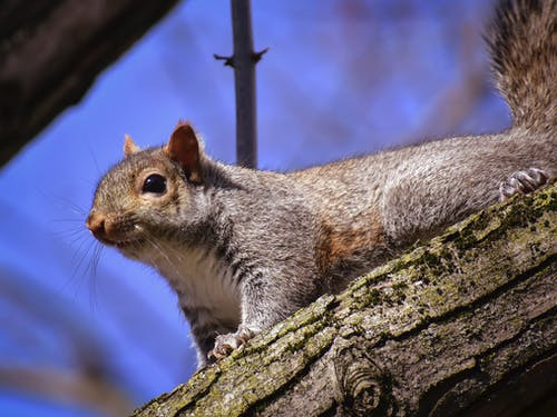 Squirrel with hairy body on tree trunk