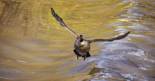 Wild goose spreading wings while flying over smooth water of pond in nature
