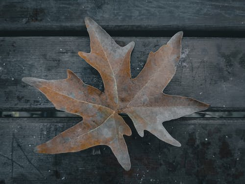 Top view of dry maple leaf with pointed edges and veins on wooden planks in autumn