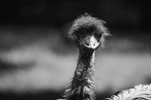 Ingyenes stockfotó állat, emu madár, fekete-fehér témában