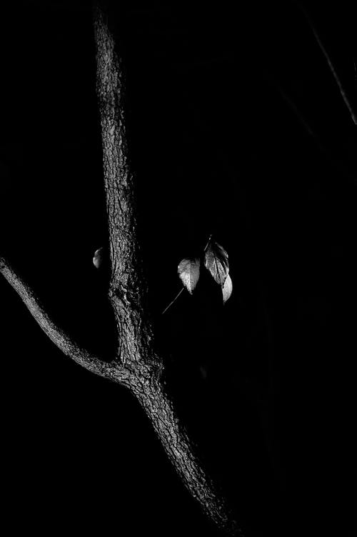 Black and white of thin branch of tree with rare leaves against black background