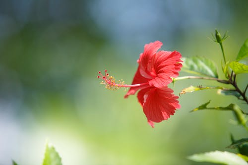 Red Hibiscus in Bloom