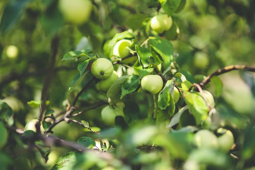 Foto d'estoc gratuïta de arbre, fruites, jardí, natura