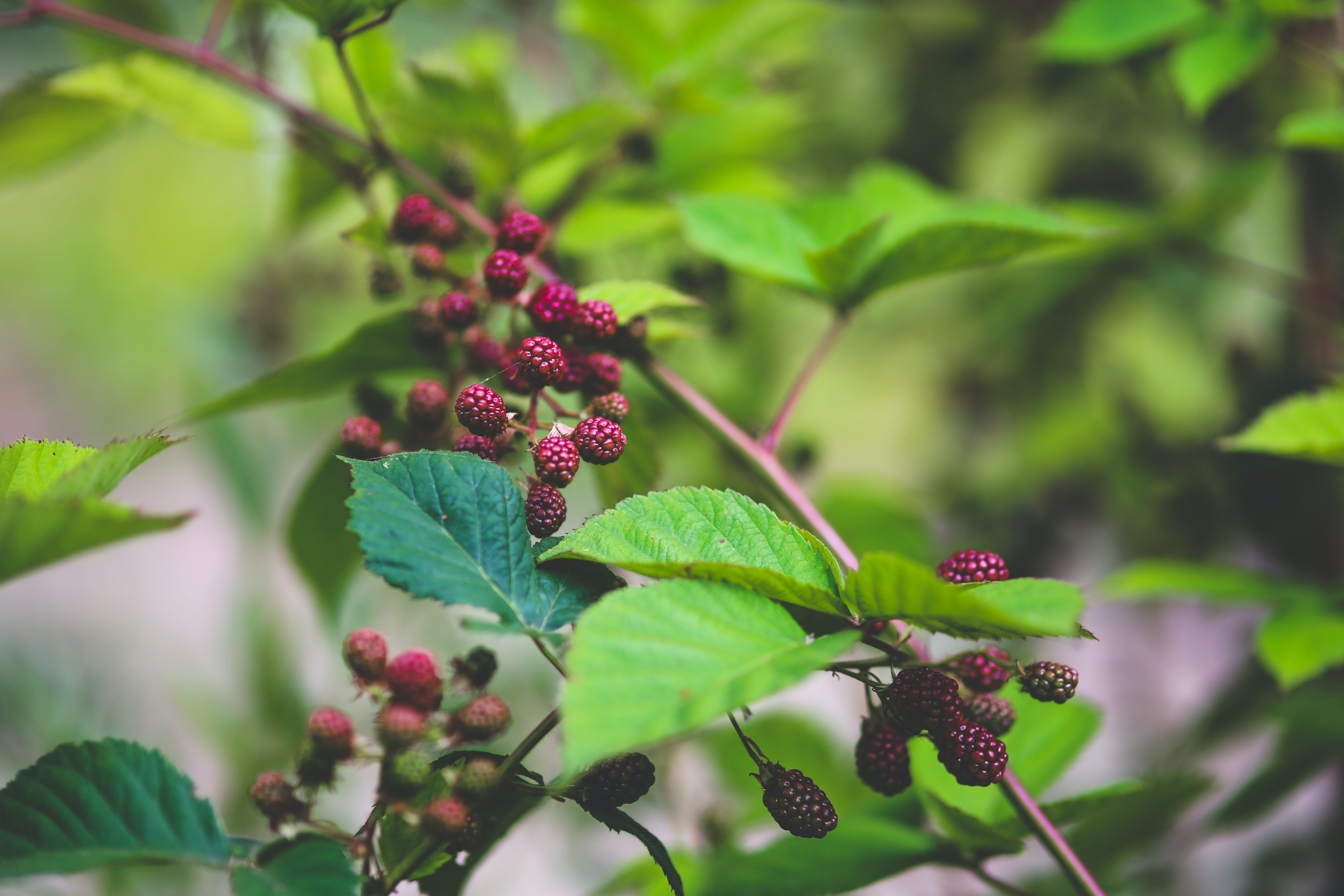 Young blackberries II