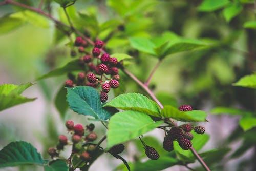 Kostenloses Stock Foto zu brombeeren, busch, früchte, natur
