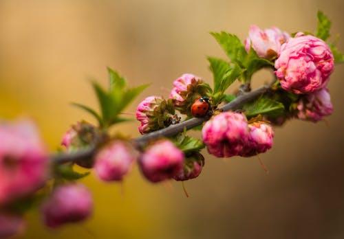 Ladybug sitting on flowering almond twig