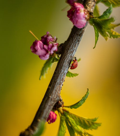 Red ladybug crawling on delicate almond shrub branch with pink blossoming flowers in garden