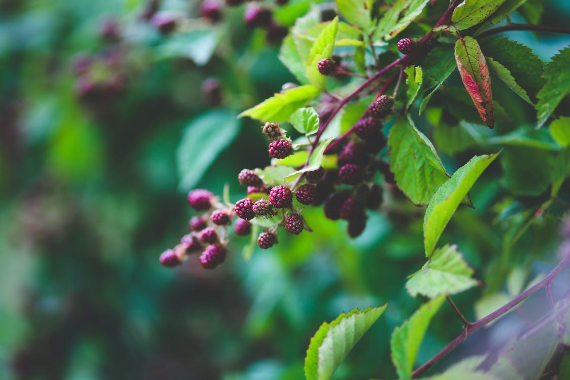 blackberries, blackberry telefoons, braambessen