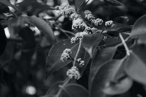 Black and white leaves and white tender flowers blossoming on bird cherry tree in lush spring garden