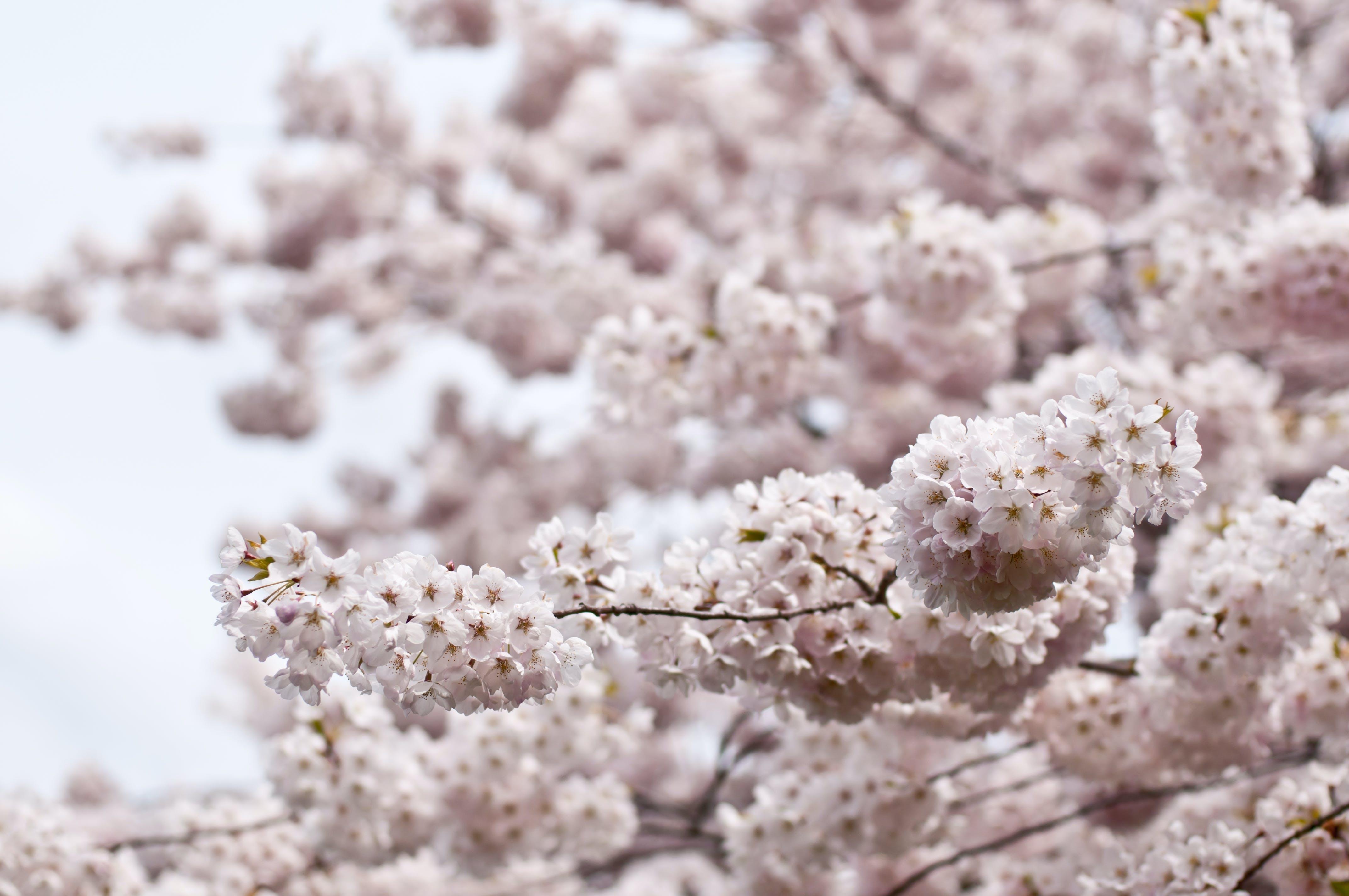 Immagine gratuita di albero, bocciolo, fiore di ciliegio, fiori