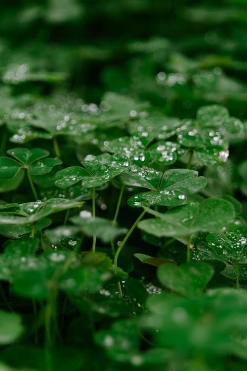Free stock photo of clover, dew, dewdrop, dewdrops