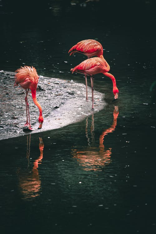 Caribbean flamingos with long necks and pink plumage reflecting in rippled pond while drinking water in zoo