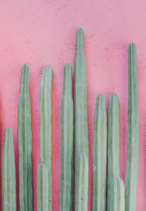 Long green cacti on pink background