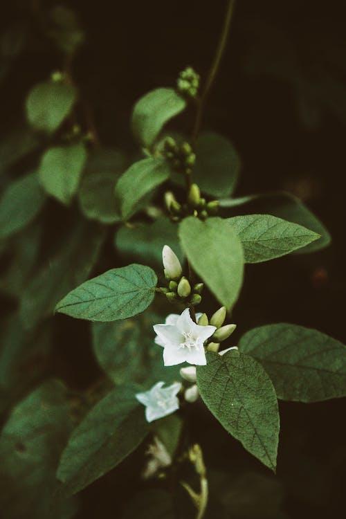 Безкоштовне стокове фото на тему «graden, атмосферний, Біла квітка, бутон»
