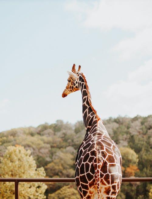 Giraffe Standing on Green Grass Field
