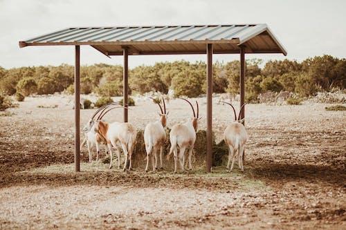 Herd of Goats Under Brown Wooden Roof