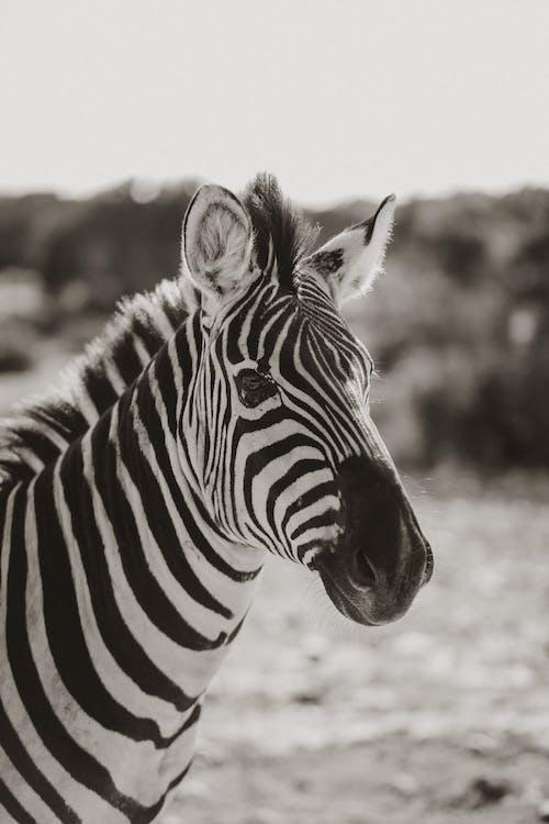 Zebra Standing on Brown Field