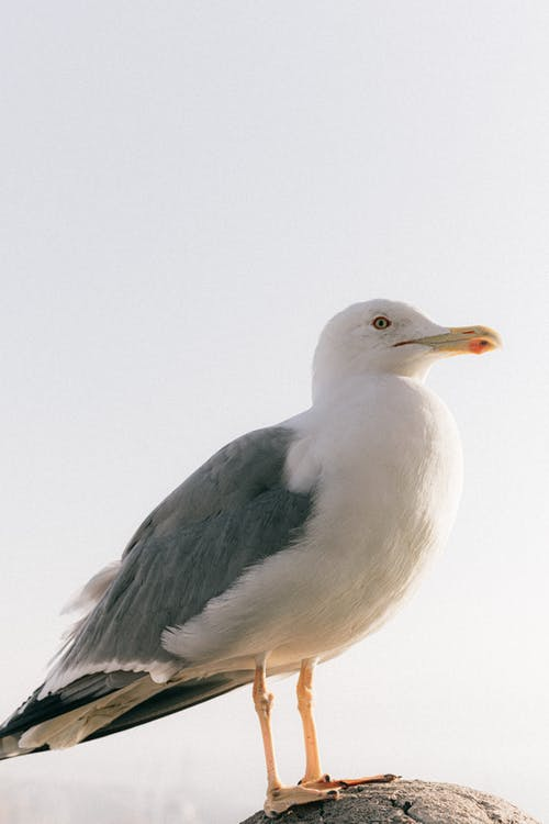Side view of seagull with gray and white plumage sitting on rough stone