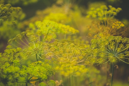 Blooming dill
